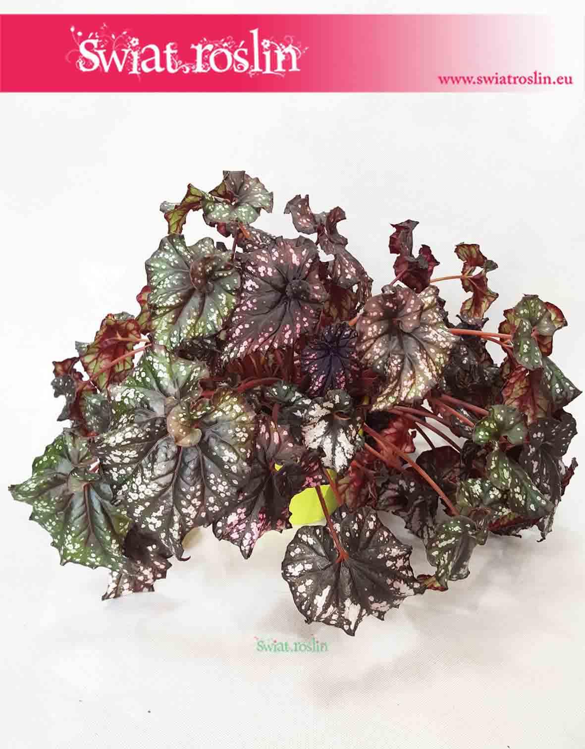 Begonia Królewska, Begonia Magic Colours, Begonia Rex Cultorum