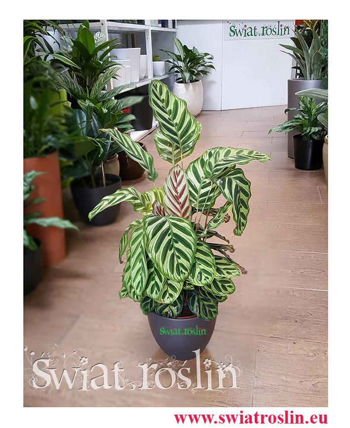 Calathea Makoyana, Kalatea Makoyana, świat roślin, kwiaty doniczkowe
