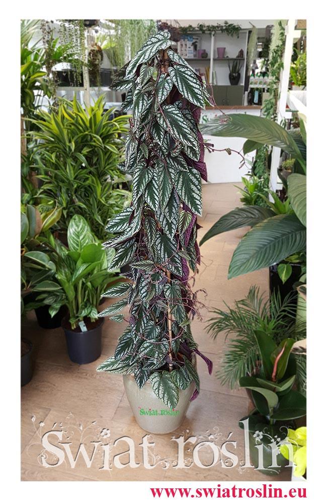 Cissus Discolor, Cissus Różnobarwny, świat roślin, kwiaty doniczkowe