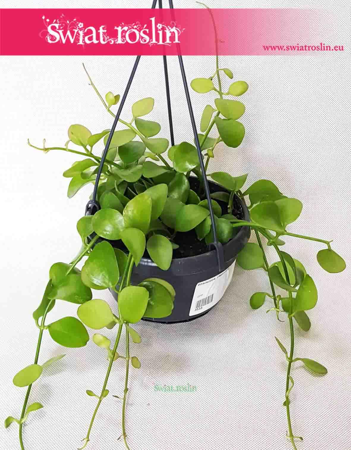 Dischidia Imbricata, Diszidia Imbrykata, świat roślin, rośliny doniczkowe