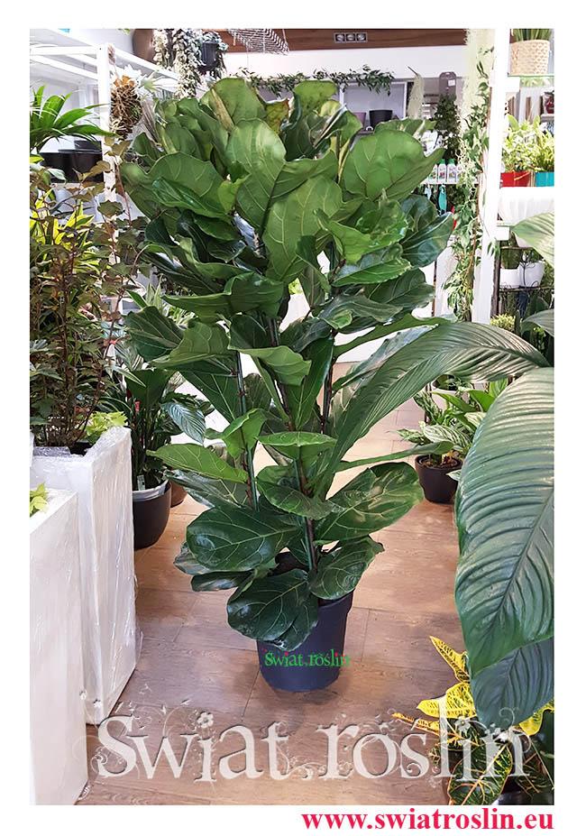 Fikus Lyrata, Ficus Lyrata, Fikus Dębolistny, Figowiec Lirolistny, Fikus Lirolistny, kwiaty, rośliny doniczkowe