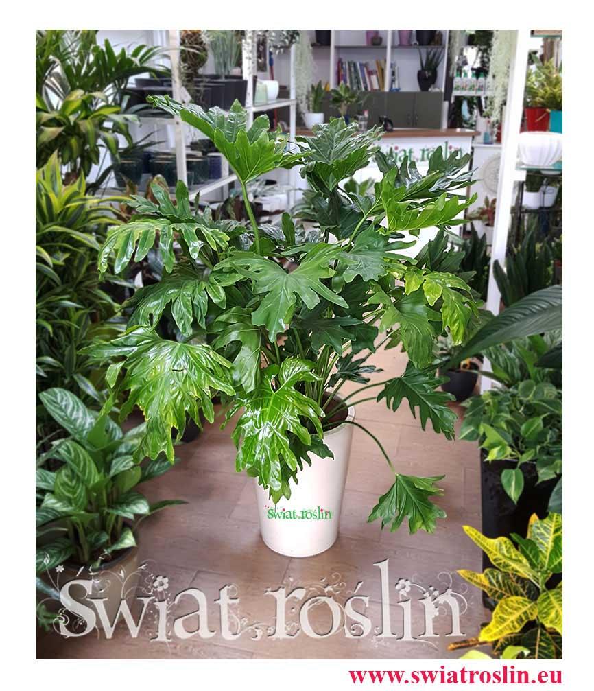 Filodendron Selloum , Philodendron Selloum, kwiaty, rośliny, doniczkowe, świat roslin