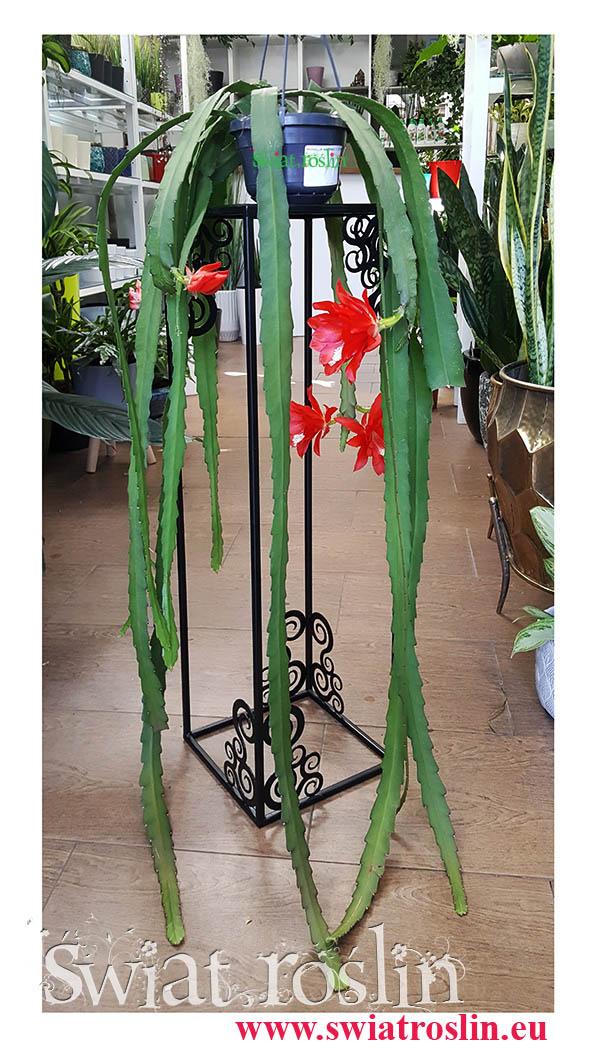 Kaktus, Epiphyllum Ackermannii, Epifyllum Ackermannii, Disocactus Ackermannii, internetowy sklep z roslinami doniczkowymi, wysyłka roślin