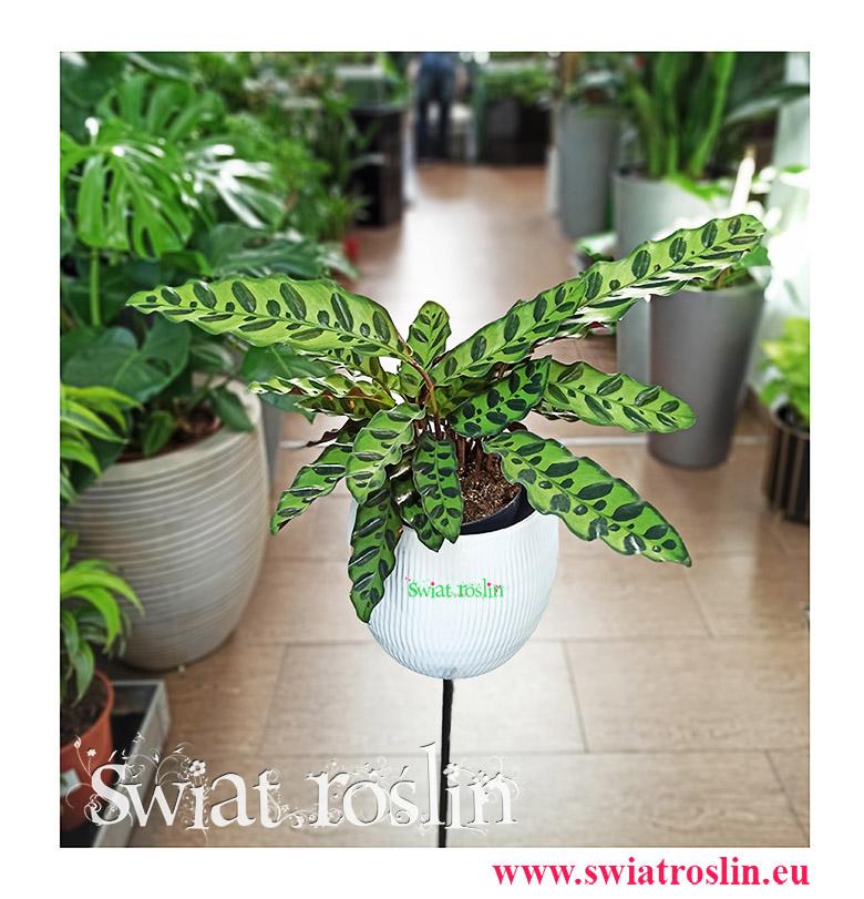 Kalatea Insignis, Calathea insignis, Kalatea Lancetowata, Kalatea Lancetolistna, Сalathea Lancifolia, rośliny kwiaty doniczkowe