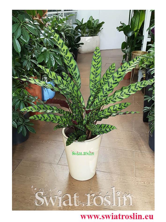 Kalatea Insignis, Calathea insignis, Kalatea Lancetowata, Kalatea Lancetolistna, Сalathea lancifolia, Świat Roślin