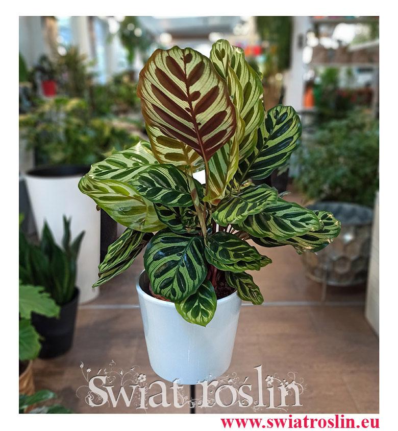 Kalatea Makoyana, Calathea Makoyana, popularne rosliny doniczkowe sklep internetowy