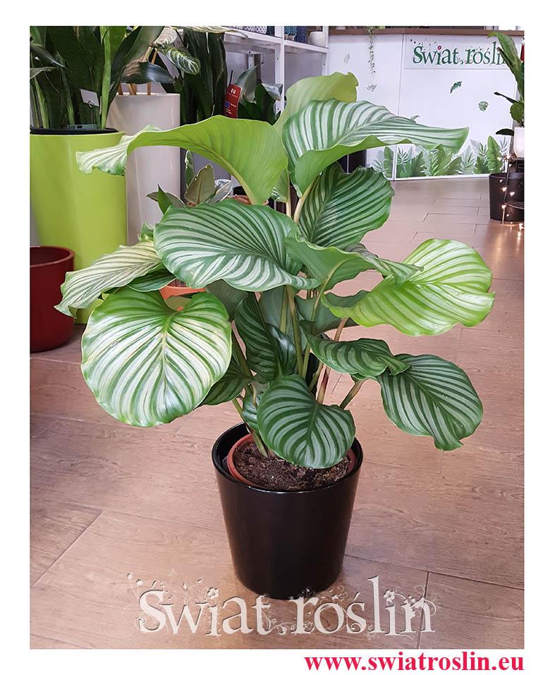 Kalatea Okrągłolistna, Calathea Orbifolia, Kalatea Orbifolia,  Calathea Okrągłolistna, popularne rośliny doniczkowe