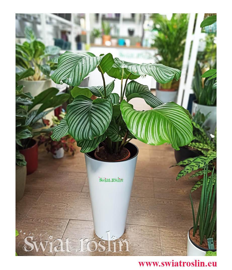 Kalatea Okrągłolistna, Calathea Orbifolia, Kalatea Orbifolia,  Calathea Okrągłolistna, rośliny kwiaty doniczkowe