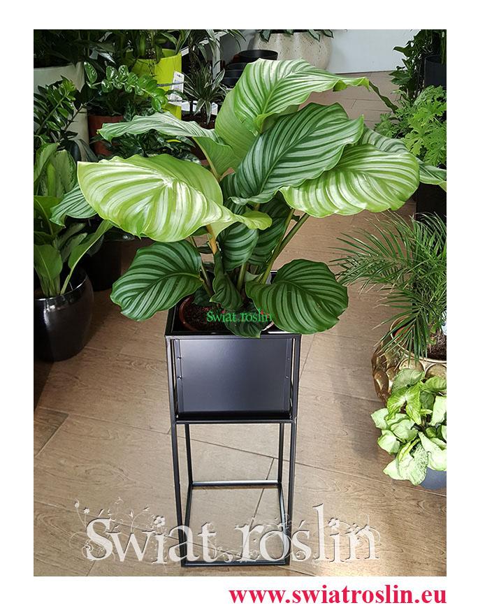 Kalatea Okrągłolistna, Calathea Orbifolia, Kalatea Orbifolia, Świat Roślin, Kwiaty doniczkowe, rosliny doniczkowe, sklep z roślinami, Rośliny do biura, do firmy