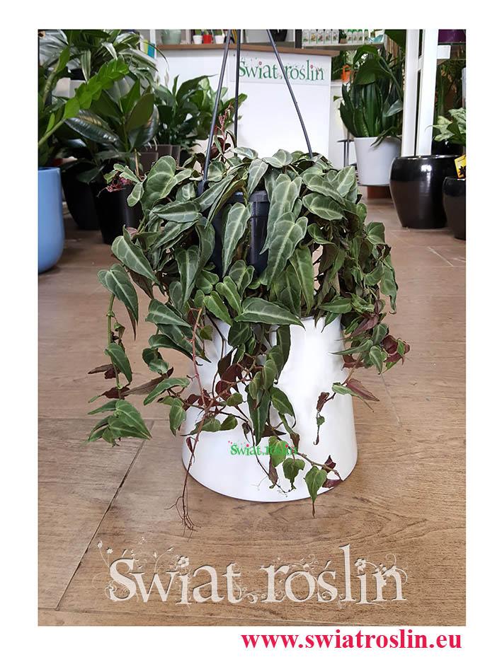 Parthenocissus Amazonica Jungle Vine, Cissus  Amazonica, Winobluszcz Amazonica, Cissus Amazoński, Parthenocissus Świat Roślin