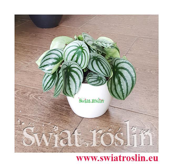 Peperomia Watermelon, Peperomia Argyreia, Świat Roslin, Kwiaty doniczkowe, rośliny doniczkowe
