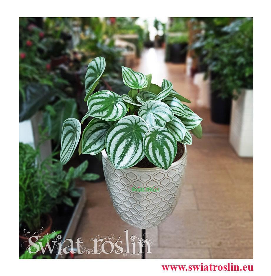 Peperomia Watermelon, Peperomia Argyreia, kwiaty rośliny doniczkowe, rosliny kraków, sklep z roślinami w krakowie