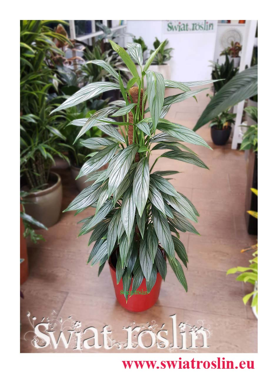 Philodendron Exotica, Filodendron Exotica, Rośliny doniczkowe, świat roślin