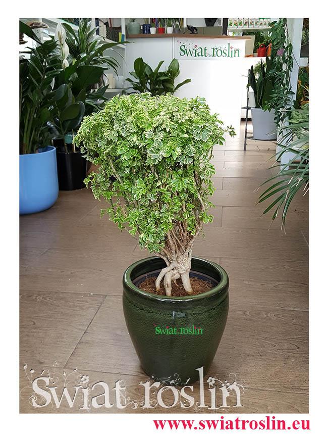 Polyscias Hawaiiana Ming, Aralia Hawaiiana Ming, Świat Roślin, kwiaty doniczkowe, rośliny doniczkowe