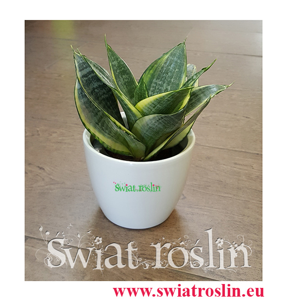 Sansevieria Hahnii Gold Star, Sansewieria Hahnii Gold Star, Sansewiera Gold Star, Wężownica, Świat Roślin, rośliny doniczkowe, kraków rośliny, sklep z roślinami doniczkowymi
