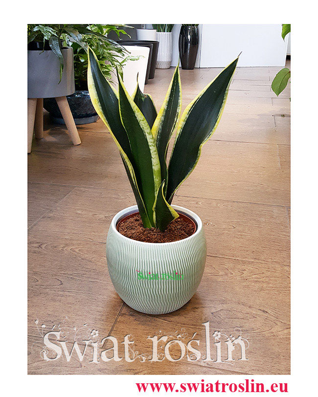 Sansewieria Super Flame, Wężownica, Sansevieria Super Flame, rośliny do biura, do hotelu, do firmy, kwiaty doniczkowe