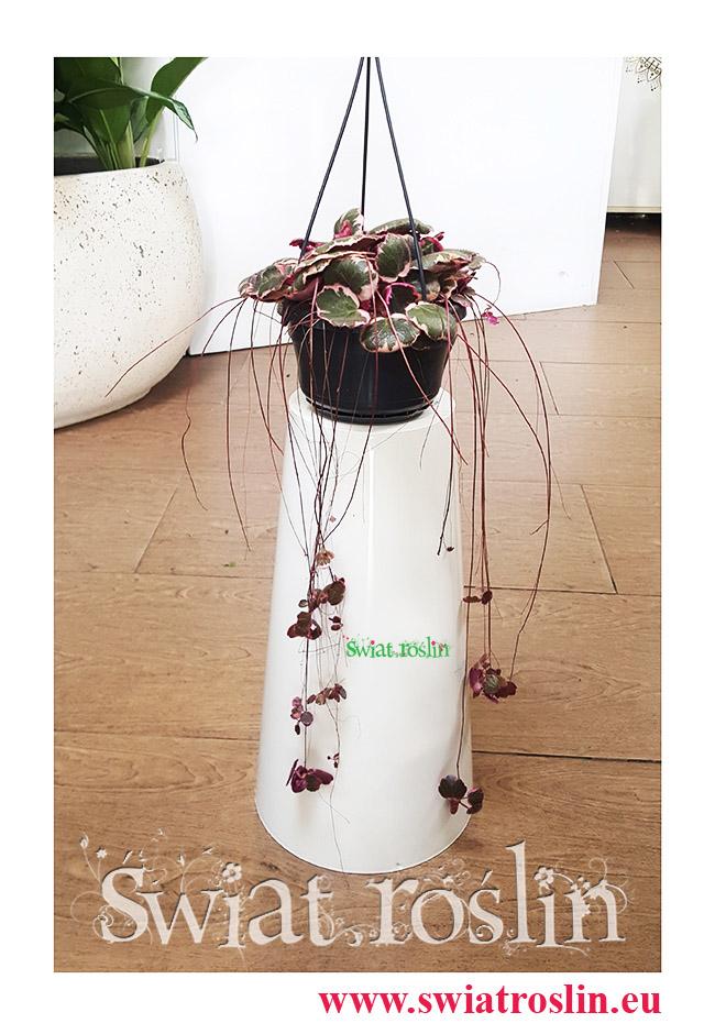 Saxifraga Stolonifera Tricolor, Skalnica Rozłogowa, Stolonifera Tricolor, Saxifraga Tricolor, Świat Roślin, Kwiaty doniczkowe, Rośliny doniczkowe