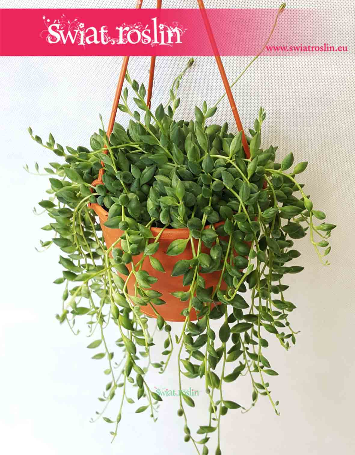 Senecio Herreianus, Starzec Herreiana, kwiaty doniczkowe, świat roślin