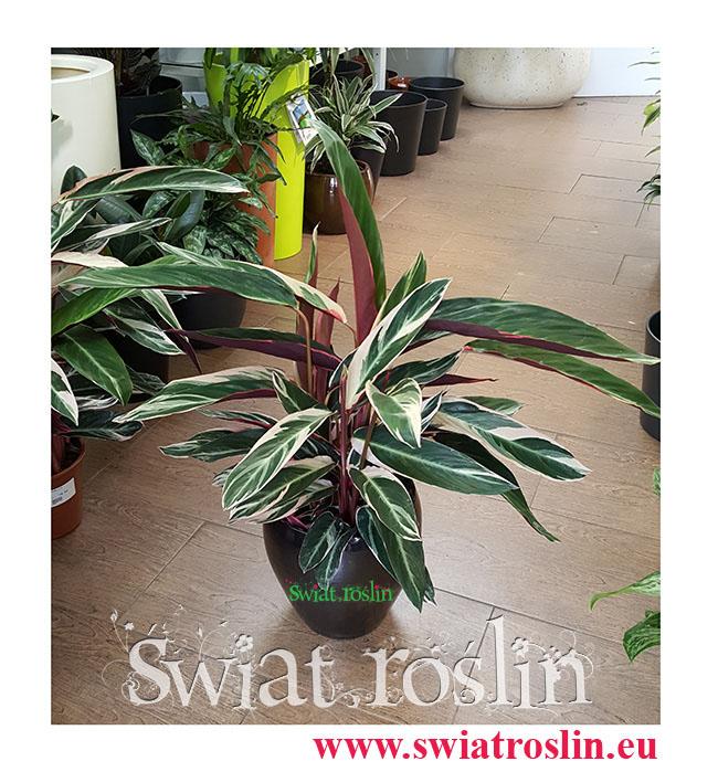 Stromanthe Triostar, Stromanta Triostar, Świat Roślin, rośliny doniczkowe, kraków rośliny, sklep z roślinami doniczkowymi