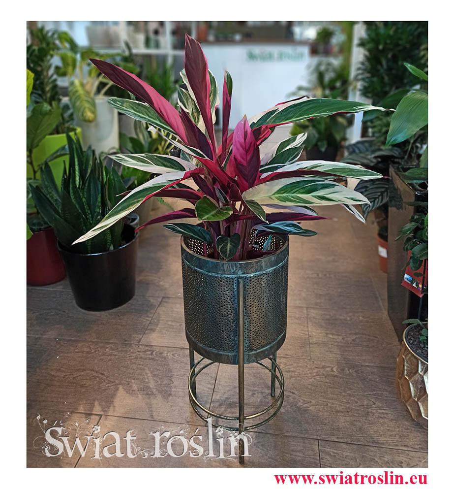 Stromanthe Triostar, Stromante Triostar,  Stromanta Triostar, kwiaty doniczkowe, rosliny doniczkowe, rośliny Kraków