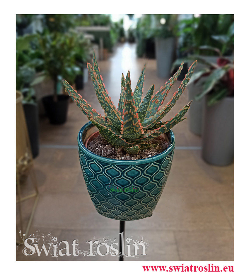 Aloe City Dannyz, Aloes City Dannyz, Aloe Dannyz, Aloes Dannyz, Aloes, Aloe, rośliny kraków, rośliny do biura, do hotelu, do firmy