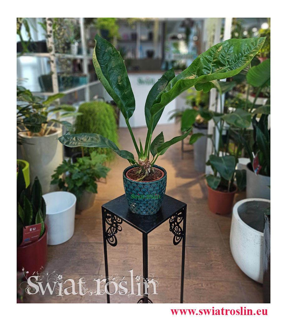 Anthurium Jungle Bush, Anturium Jungle Bush, Anturium sklep, Anthurium sklep, kwiaty rośliny doniczkowe, do biura, do firmy, na parapet