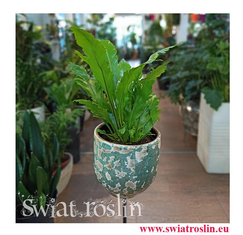 Asplenium Nidus Campio, Zanokcica, rosliny doniczkowe, kwiaty doniczkowe, sklep z roślinami w krakowie