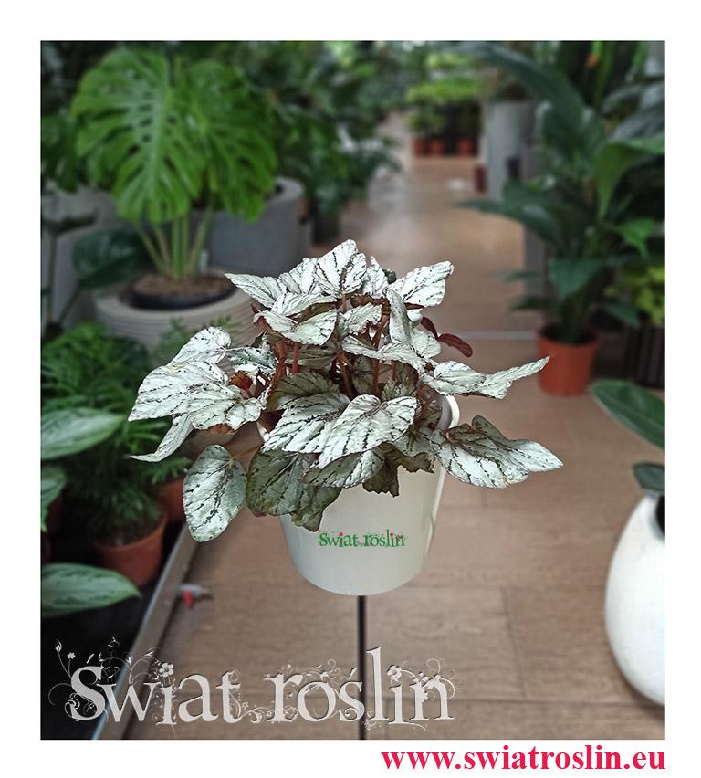 Begonia Rex Beleaf Arctic Breeze, Begonia Beleaf, Begonia, Begonia Rex, rośliny kwiaty doniczkowe