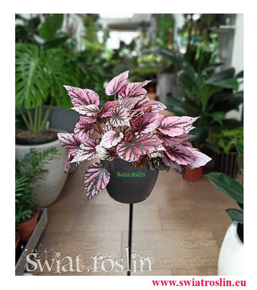 Begonia Rex Beleaf Indian Summer, Begonia Rex, Begonia Beleaf, Begonia, Kwiaty rośliny doniczkowe