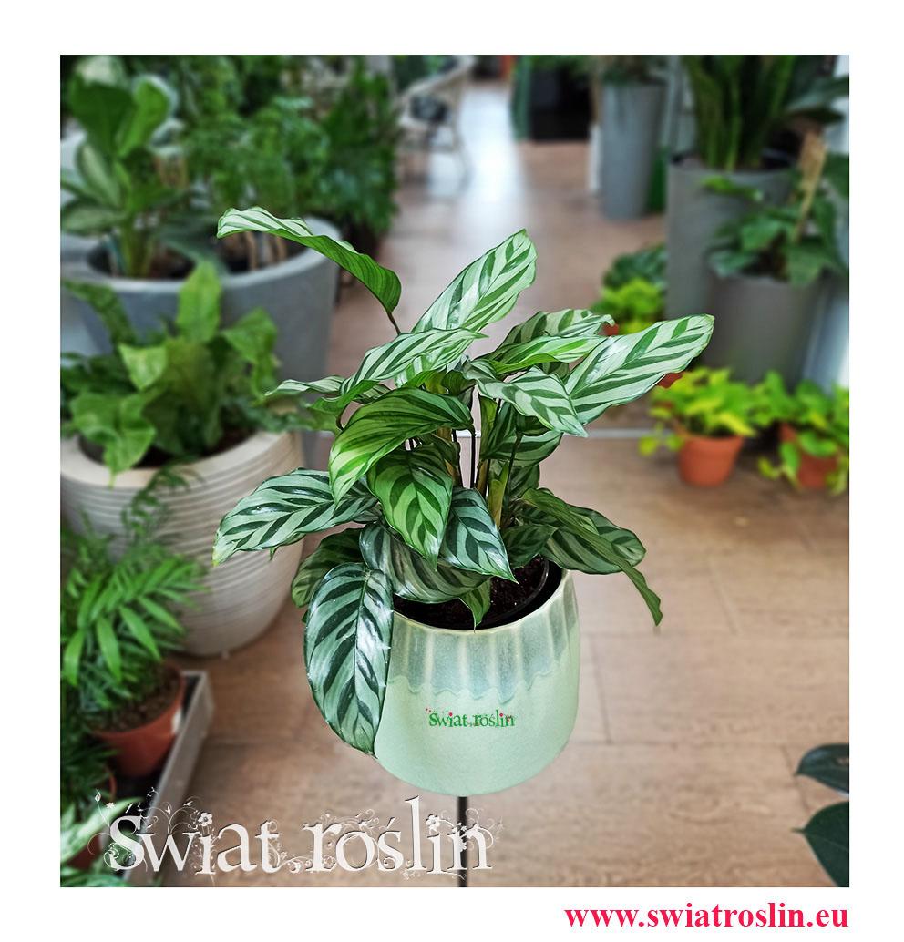 Calathea Freddie, Kalatea Freddie, Ostrzeszyn, rosliny kwiaty doniczkowe sklep internetowy