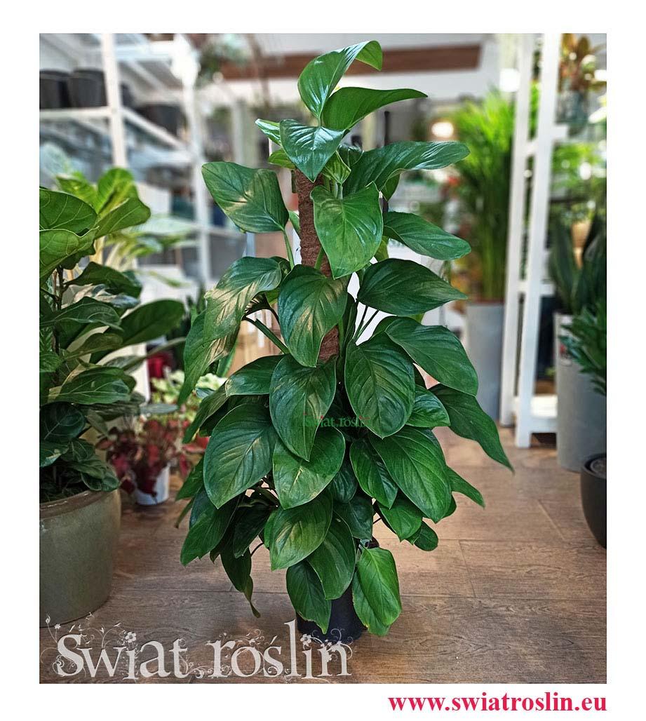 Filodendron Guttifero, Monstera acuminata, Philodendron Guttifero, Kwiaty rośliny doniczkowe