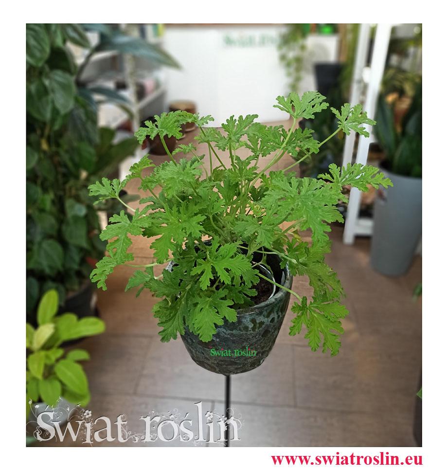 Geranium, Geranium lecznicze, Anginka, Pelargonia pachnąca, Pelargonium Graveolens
