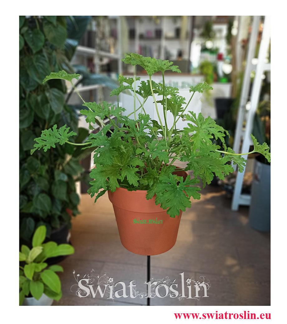 Geranium, Geranium lecznicze, Anginka, Pelargonium Graveolens, Pelargonia pachnąca,