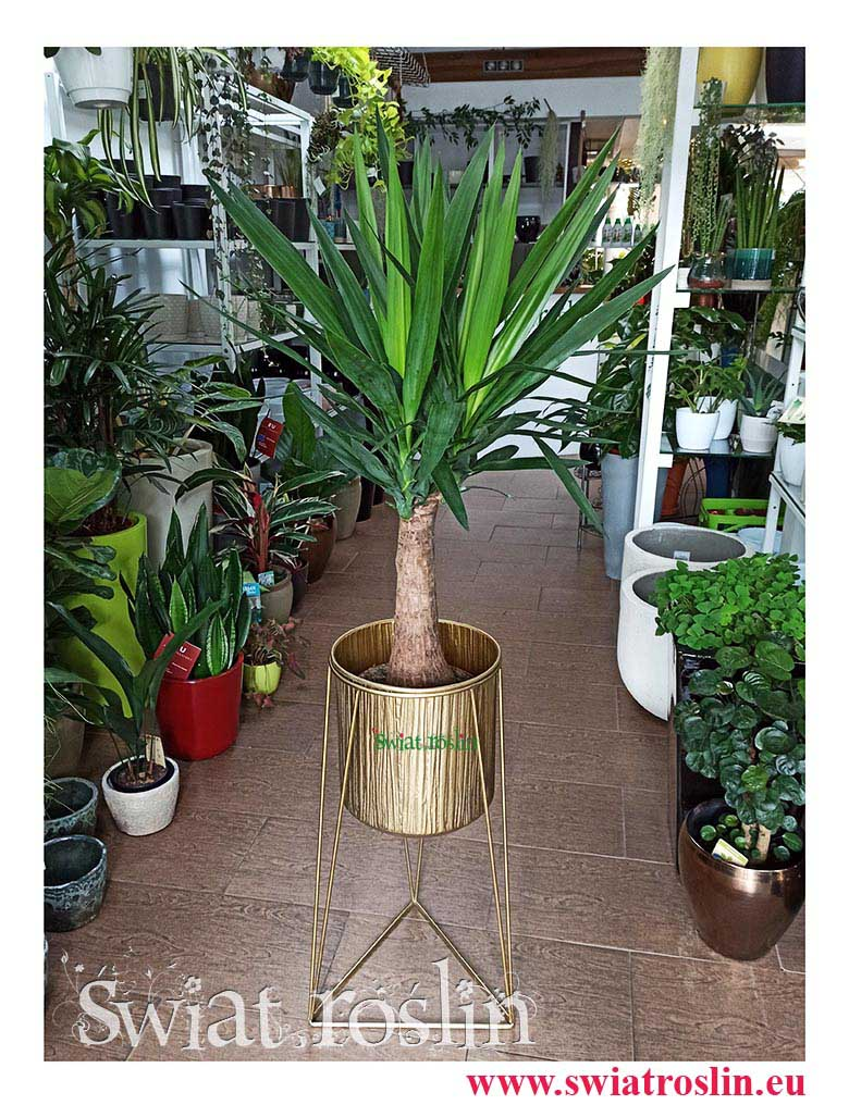 Juka Gwatemalska, Yucca Elephantipes, Juka Gwatemalska, Yucca Elephantipes, Juka sklep Yucca, kwiaty rośliny doniczkowe, modne rośliny