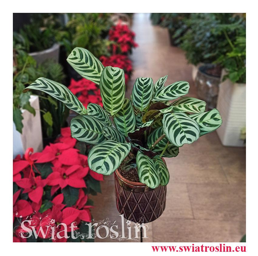 Kwiaty doniczkowe, rosliny doniczkowe, Ctenanthe Burle Marxii, Ktenante Burle Marxii-