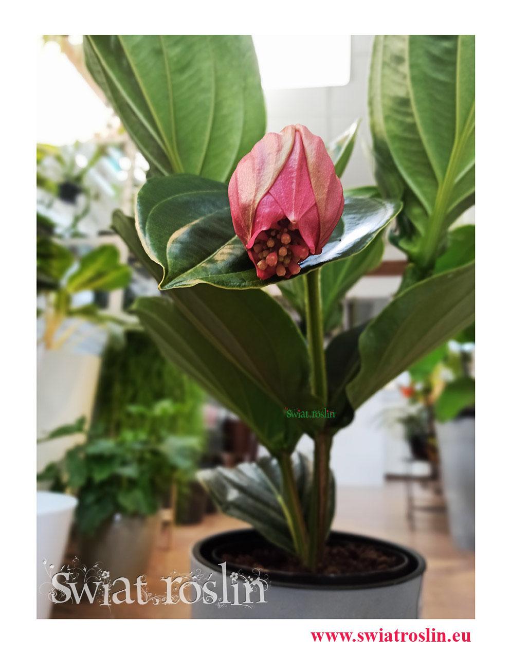 Medynila Wspaniała Flamenco, Medinilla Magnifica Flamenco, rośliny do biura, na parapet, do biurowca, kwiaty doniczkowe (1)