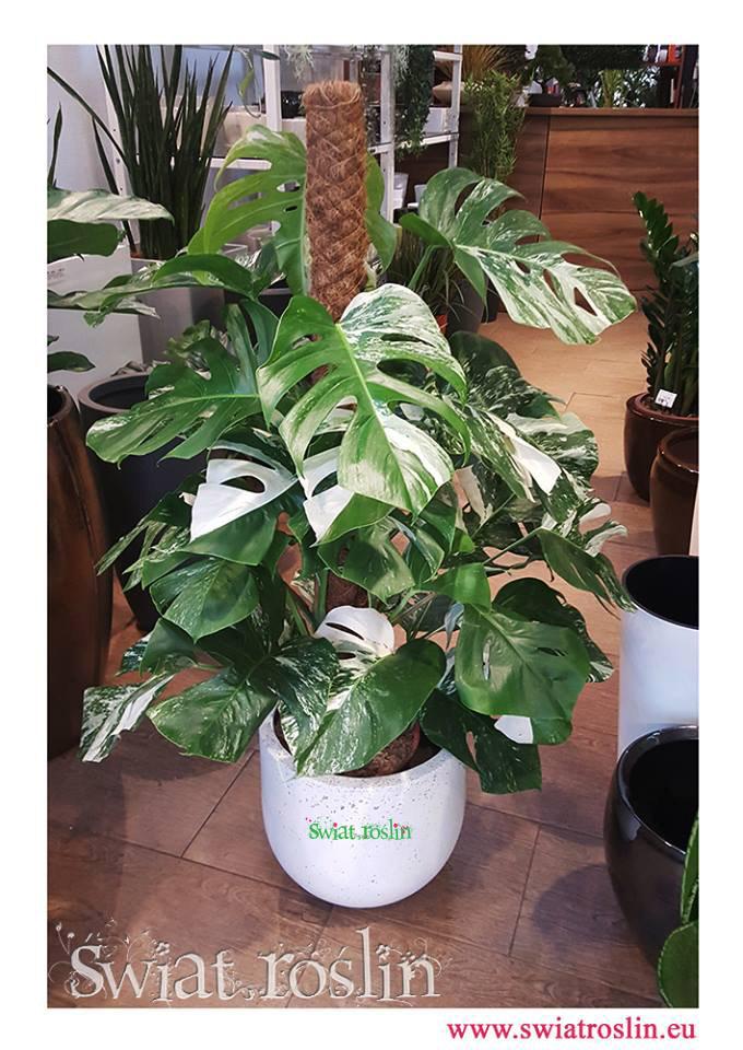 Monstera, Monstera Variegata, Philodendron Pertusem Variegatum, Świat Roślin