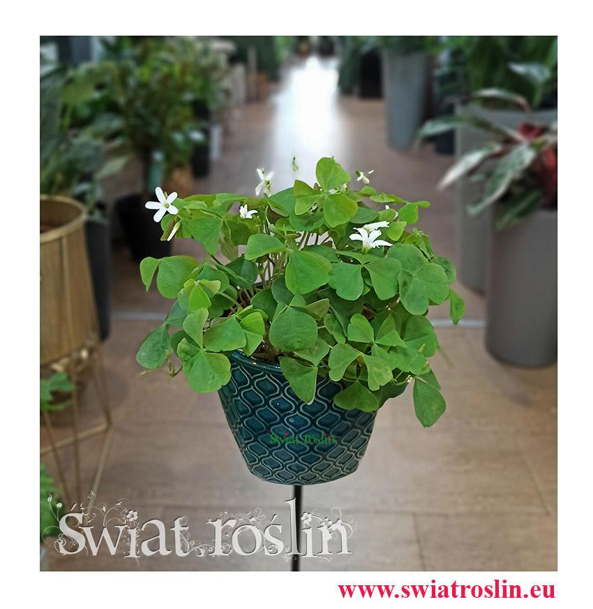 Oxalis Regnellii Green, Szczawik Trójkątny Zielony, Szczawik sklep, rośliny kwiaty doniczkowe sklep internetowy