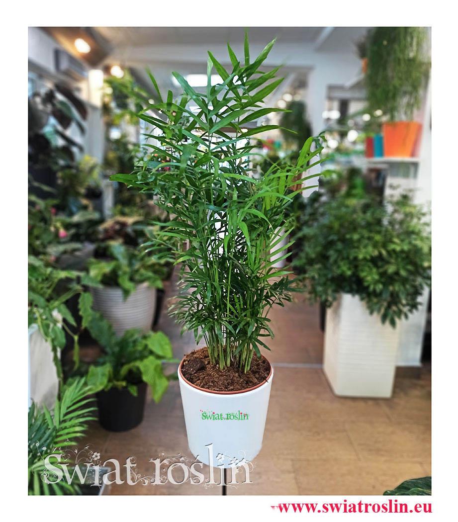 Palma, palma koralowa, Chamaedorea Elegans, Chamedora Wytworna, Kwiaty rośliny doniczkowe