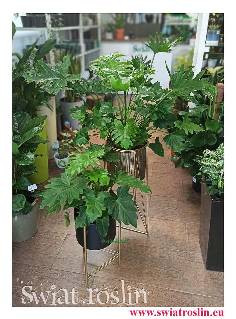 Philodendron Shangri La, Filodendron Shangri La, filodendron, philodendron, filodendron sklep, philodendron sklep, rośliny do biura, rośliny do firmy