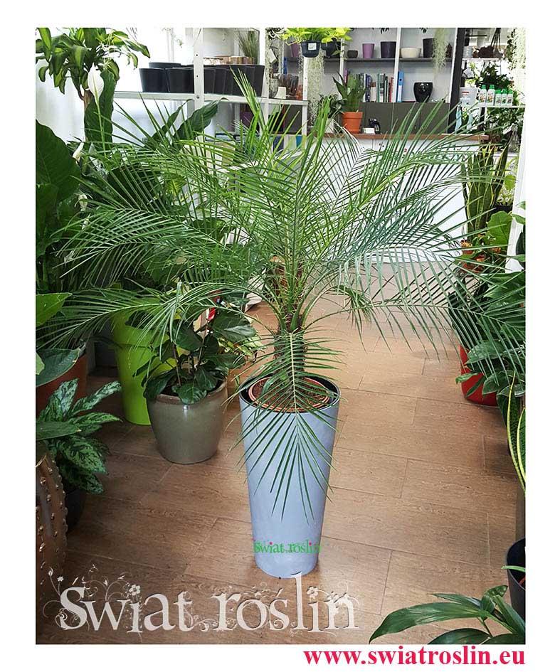 Phoenix Roebelenii, Daktylowiec Niski, Daktylowiec  Karłowaty, daktylowiec sklep, sklep z roślinami online