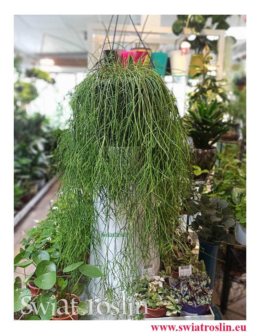 Rhipsalis Baccifera, Rypsalis Baccifera, Kaktus Rypsalis, Kaktus Rhipsalis, rosliny do biura, do firmy do salonu, do hotelu