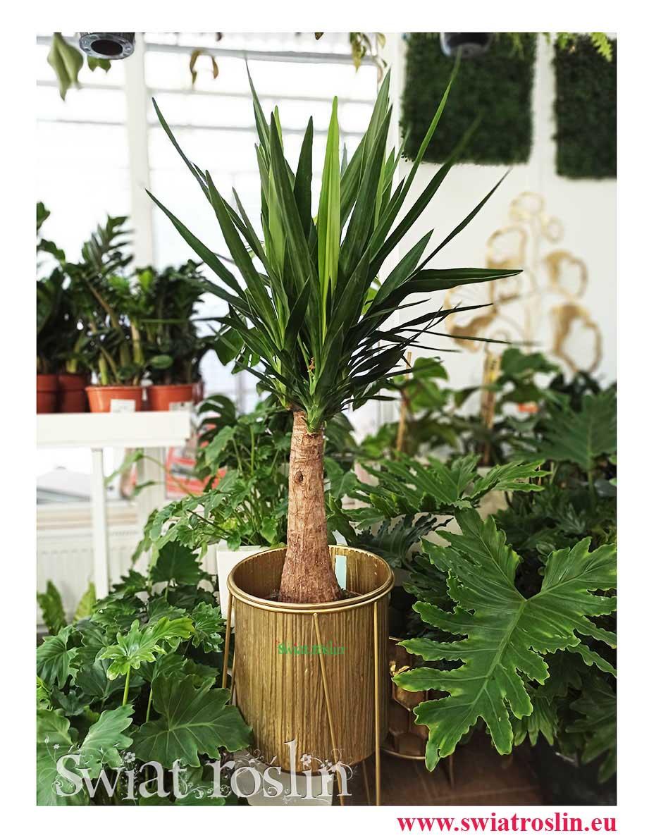 Rośliny doniczkowe, kwiaty doniczkowe, Juka Gwatemalska, Yucca Elephantipes