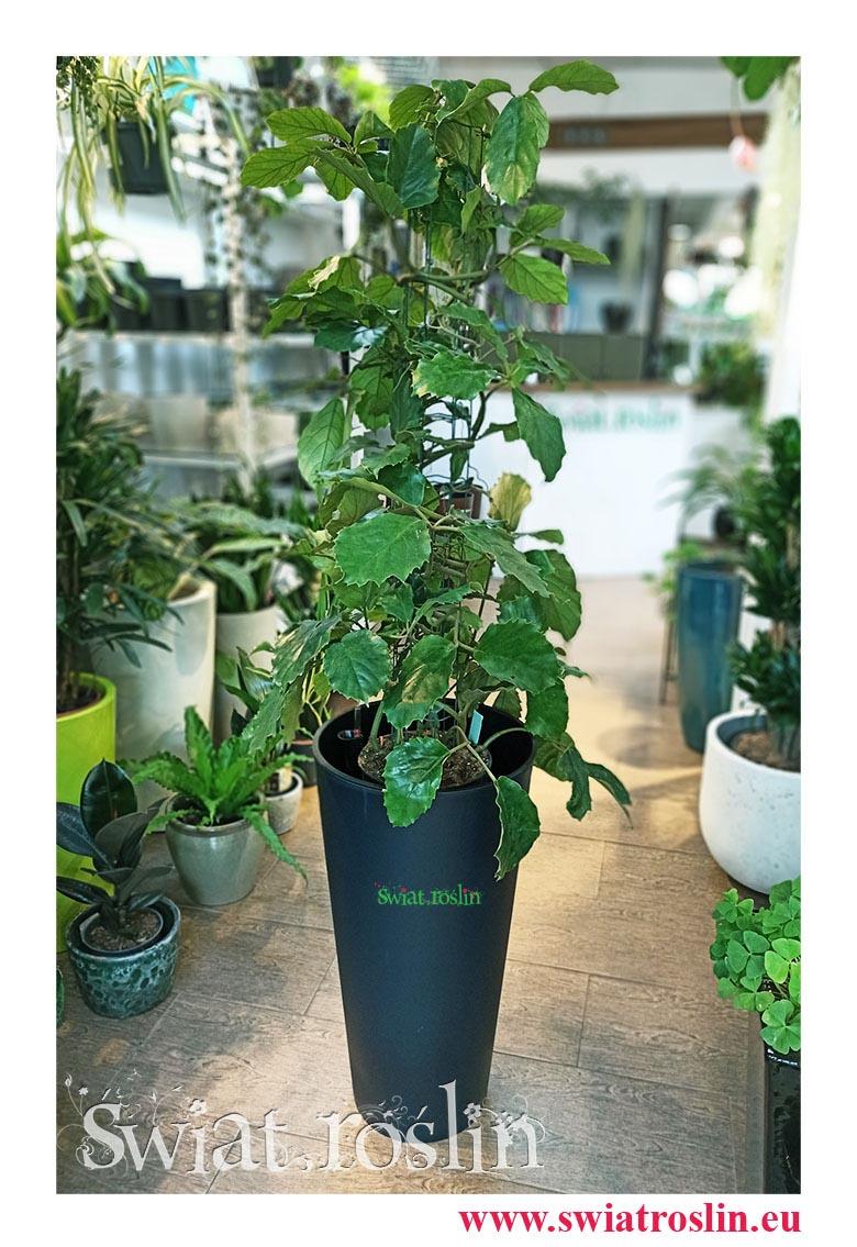 Rośliny doniczkowe, kwiaty doniczkowe, Tetrastigma Voinierianum, Winorośl Kasztanowata, Tetrastigma, rośliny kraków