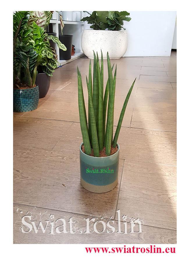 Sansevieria Bacularis Sansewieria, Sansevieria Cylindrica Sansewieria, rosliny kwiaty doniczkowe, rośliny Kraków, świat roślin