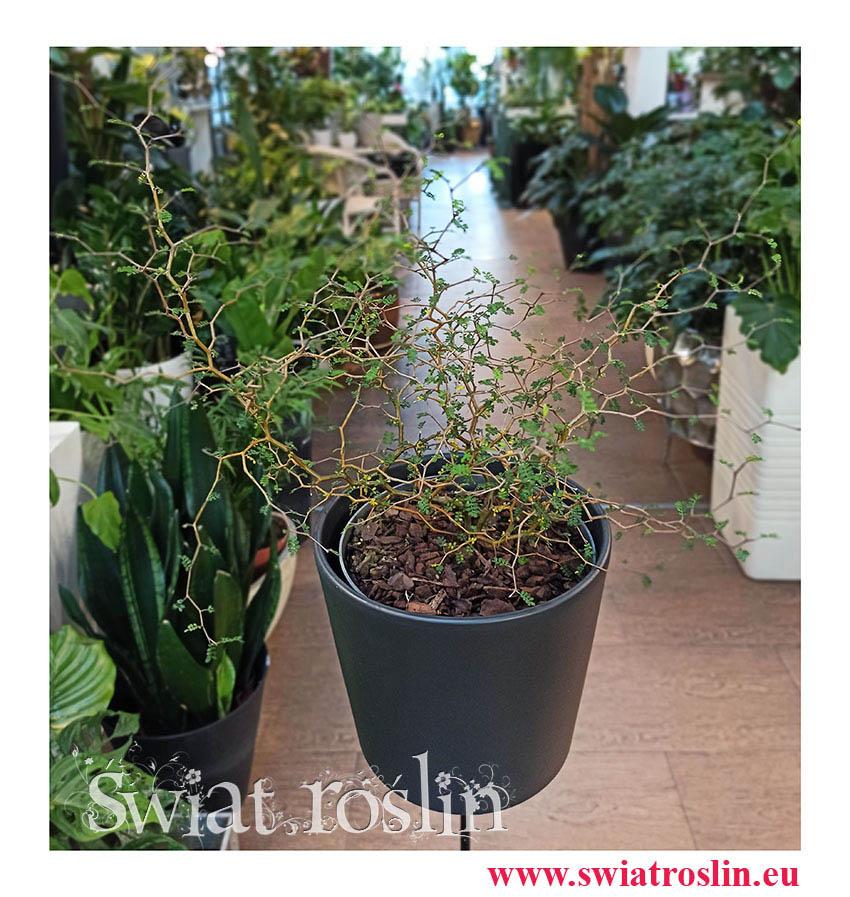 Sophora Prostrata Little Baby, Perełkowiec Drobnolistny, kwiaty doniczkowe, rośliny doniczkowe Kraków