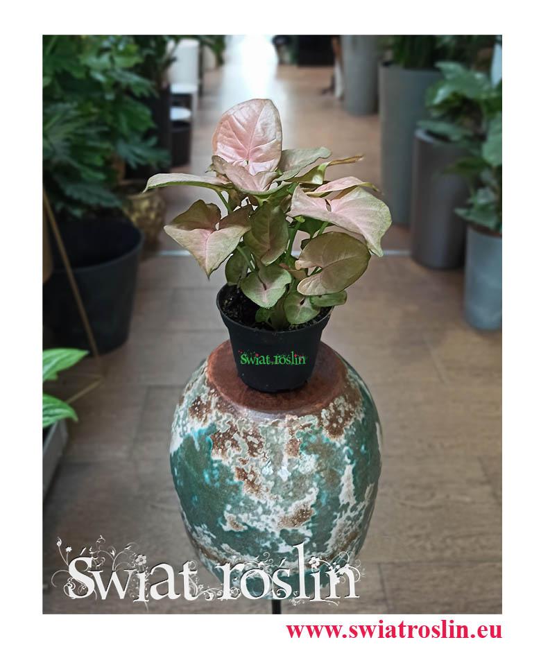 Syngonium Neon Robusta, Zroślicha, rosliny doniczkowe, kwiaty doniczkowe, sklep internetowy z roślinami doniczkowymi