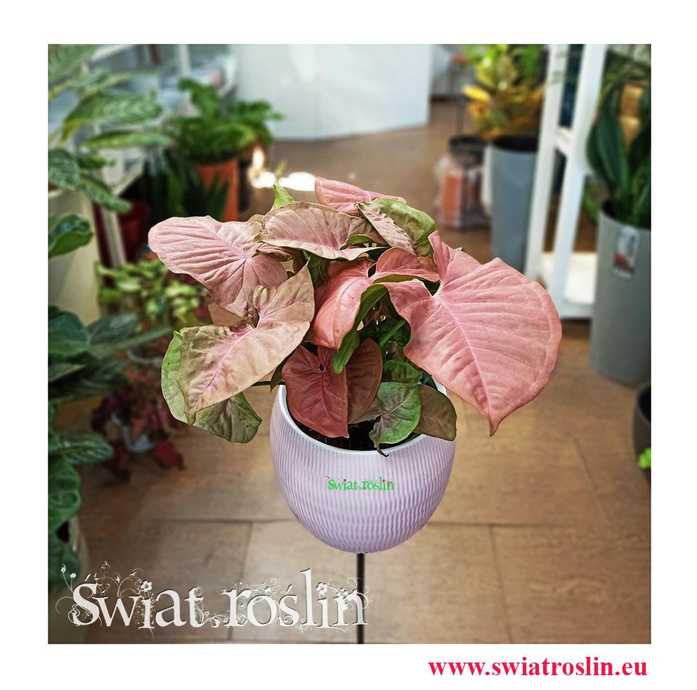 Syngonium Red Heart, Zroślicha, Rośliny kwiaty doniczkowe sklep