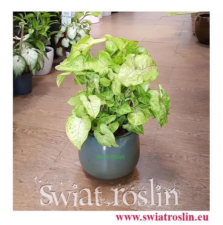 Zroślicha, Syngonium Golden, Syngonium Stopowcowe, Syngonium Podophyllum, kwiaty rosliny doniczkowe pokojowe