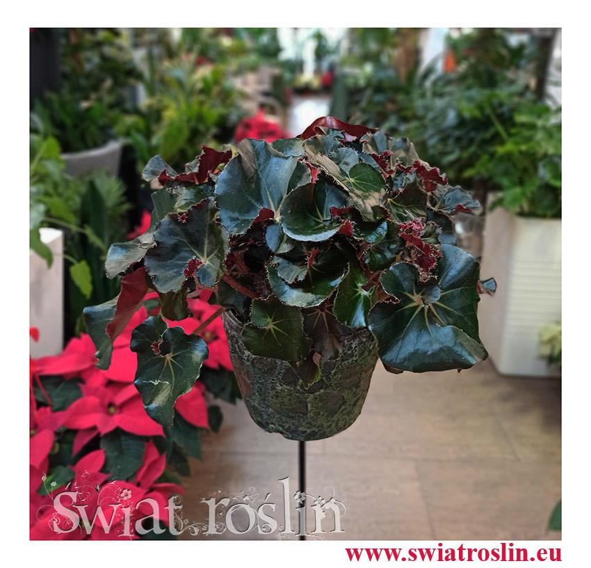 rośliny Kraków, Begonia Erythrophylla Black Jungle, Ukośnica, Begonia Black Jungle, begonia black